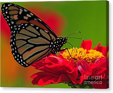 Canvas Print featuring the photograph Speckled Monarch by Olivia Hardwicke
