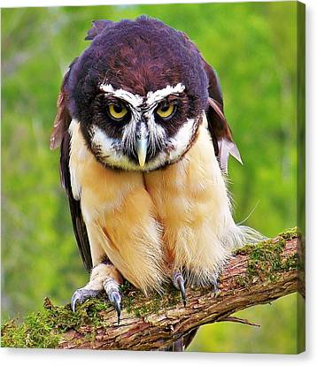 Spectacle Owl Canvas Print by Al Fritz