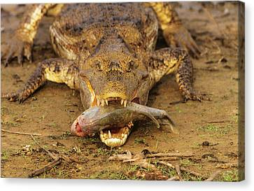 Food In Mouth Canvas Print - Spectacled Caiman With Piranha by M. Watson