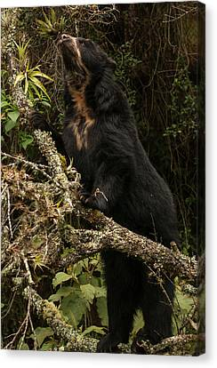 Spectacled Or Andean Bear (tremarctos Canvas Print