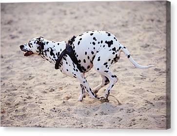 Speedy Girl. Kokkie. Dalmatian Dog Canvas Print by Jenny Rainbow