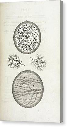 Sperm And Blood Microscopy Canvas Print by British Library