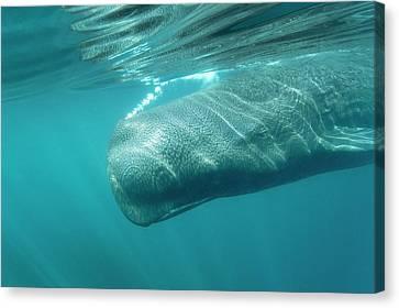 Sperm Whale Canvas Print by Christopher Swann