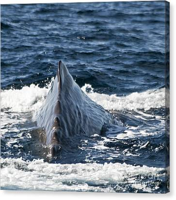 Sperm Whale Ready To Dive Canvas Print by Heiko Koehrer-Wagner