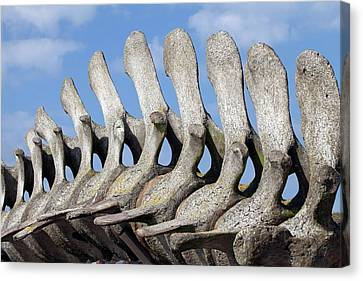 Large Mammals Canvas Print - Sperm Whale Spine by Dirk Wiersma