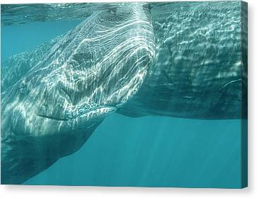 Sperm Whales Canvas Print by Christopher Swann