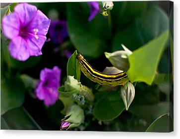 Sphinx Moth Caterpillar Canvas Print by Swift Family