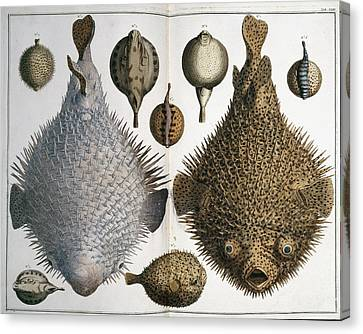 Sphoeroides Sp Pufferfish Canvas Print by Natural History Museum, London