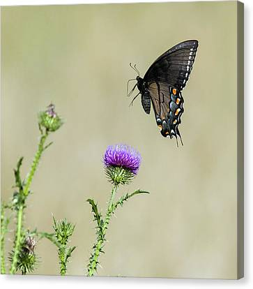 Spicebush Swallowtail 1 Canvas Print by David Lester