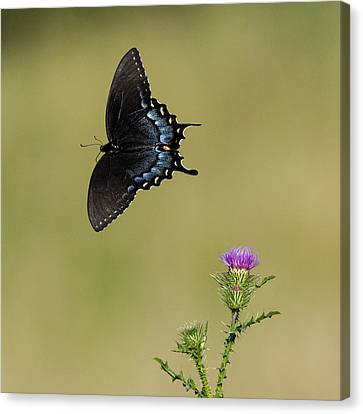 Spicebush Swallowtail 2 Canvas Print by David Lester