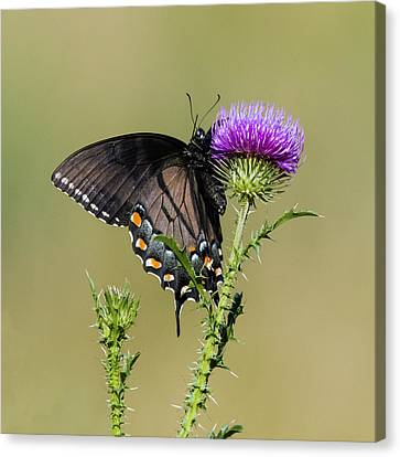 Spicebush Swallowtail 3 Canvas Print by David Lester