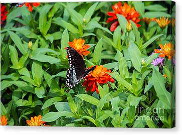 Spicebush Swallowtail Canvas Print by Angela DeFrias