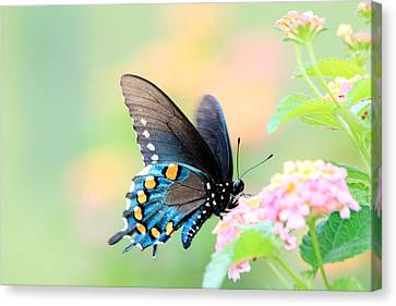 Spicebush Swallowtail Butterfly Canvas Print by Lorri Crossno