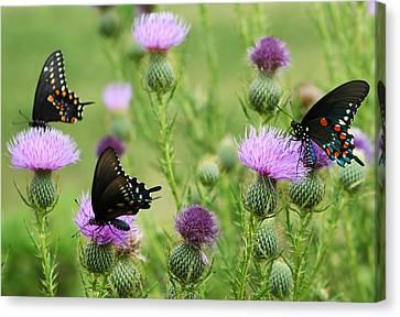 Spicebush Swallowtail Heaven Canvas Print by Kathy Clark