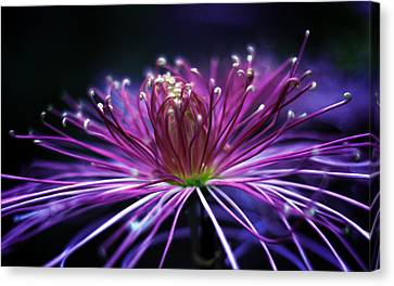 Spider Chrysanthemum Canvas Print by Jessica Jenney
