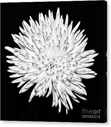 Spider Chrysanthemum Canvas Print by John Farnan