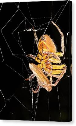 Spider Eating A Cockroach Canvas Print