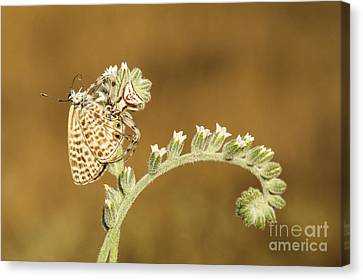 Spider Feeds On A Butterfly 3  Canvas Print by Alon Meir
