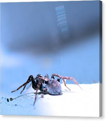 Spider In Blue Tone Canvas Print by Tommytechno Sweden