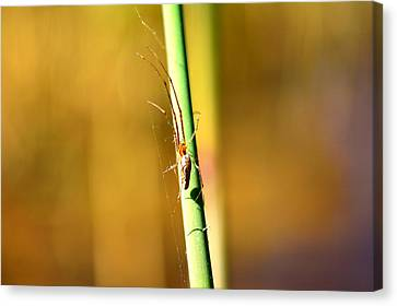 Spider In The Reeds  Canvas Print