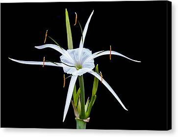 Spider Lily Beauty Db Canvas Print by Rich Franco