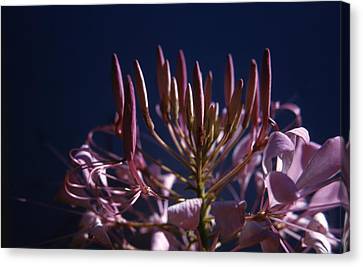 Spider Lily Flower Canvas Print by Retro Images Archive