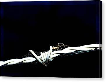 Spider On Barb Wire Canvas Print
