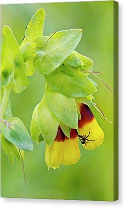 Spider On Honeywort (cerinthe Major) Canvas Print by Bob Gibbons