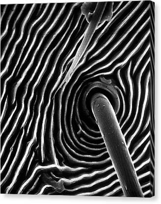 Arachnida Canvas Print - Spider Trichobothrium Hair by Natural History Museum, London
