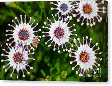 Spider Whites - Spring Flowers In Bloom. Canvas Print by Jamie Pham