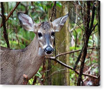 Spike Buck Whitetail Portrait Canvas Print