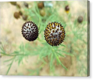 Spiky Balls Canvas Print by Mike Podhorzer