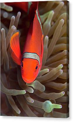 Spinecheek Anemone Fish On Host Anemone Canvas Print by Louise Murray