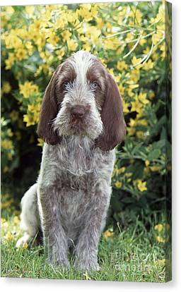 Spinone Canvas Print - Spinone Dog by John Daniels