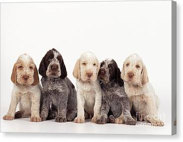 Spinone Canvas Print - Spinone Puppy Dogs by John Daniels