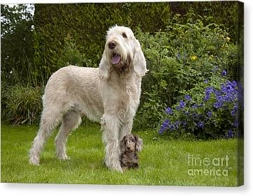 Spinone Canvas Print - Spinone With Mini Dachshund by John Daniels