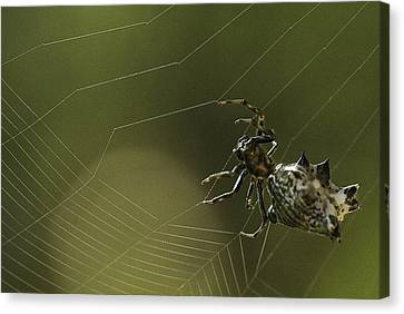 Canvas Print featuring the photograph Spiny Backed Orb Weaver by Tom Cameron