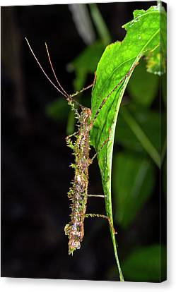 Spiny Moss-mimicking Stick Insect Canvas Print