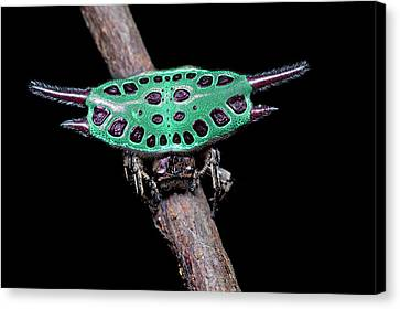 Spiny Orb-weaver Spider Under Uv Light Canvas Print by Melvyn Yeo