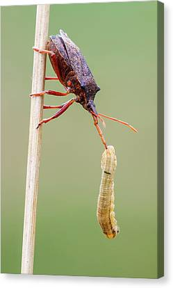 Spiny Shieldbug Canvas Print by Heath Mcdonald