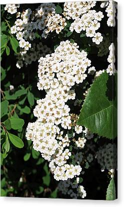 Spiraea Nipponica 'snowmound' Canvas Print