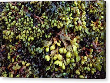 Spiral Or Twisted Wrack Canvas Print by Nigel Downer