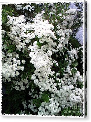 Canvas Print featuring the photograph Spirea Bridal Veil by Barbara Griffin