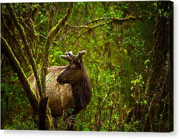 Spirit Of The Forest Canvas Print by Stuart Deacon