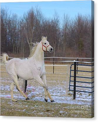 Spirited Horse Canvas Print by Kathleen Struckle