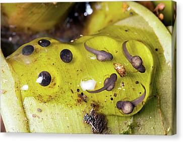 Bromeliad Canvas Print - Splash-back Poison Frog Eggs by Dr Morley Read