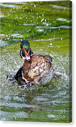 Splashdown - Wood Duck Canvas Print
