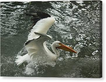 Splashing Pelican Canvas Print by Bonita Hensley