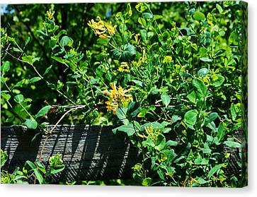 Split Rail Honeysuckle Canvas Print by Cathy Shiflett