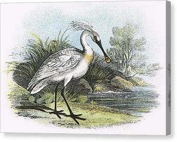 Spoonbill Canvas Print by English School